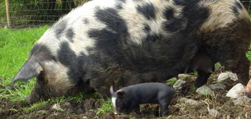 Burren Free Range sow and piglet