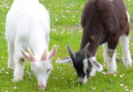 Burren Nature Sanctuary kid goats