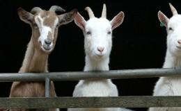 Goats at St Tola